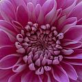 Pink Flower by Dawn OConnor