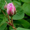 Pink Flower by Dennis Pintoski