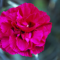 Pink Flower (dianthus 'carlotta') by Archie Young