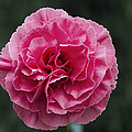 Pink Flower (dianthus 'clare') by Archie Young