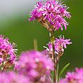 Pink Flower by Johan Larson