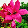Pink Flower by Joyce Woodhouse