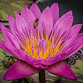 Pink Water Lily by Sean Wray