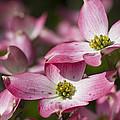 Pink Flowering Dogwood - Cornus Florida Rubra by Kathy Clark