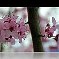 Pink Flowering Tree In Spring Framed by P S