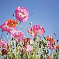 Pink Flowers Against Blue Sky by Craig Tuttle
