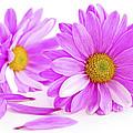Pink Flowers by Elena Elisseeva
