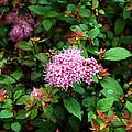 Pink Flowers Of Little Bavaria by LeeAnn McLaneGoetz McLaneGoetzStudioLLCcom