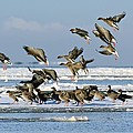 Pink-footed Geese On An Ice Floe by Duncan Shaw