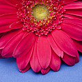 Pink Gerbera Daisy On Blue Background by Jill Fromer