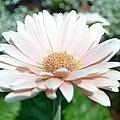 Pink Gerbera Flower by P S