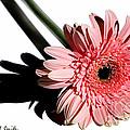 Pink Gerbera by Susan Smith