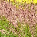 Pink Grass by Alfred Ng