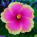 Pink Hibiscus by Cristie Rieland