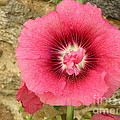 Pink Hollyhock 1 by Lainie Wrightson