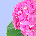 Pink Hydrangea by Susan Wall