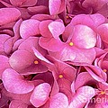 Pink Hydrangeas by Dale   Ford