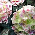Pink Hydrangeas by Elaine Plesser