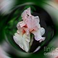 Pink Iris Energies by Smilin Eyes  Treasures