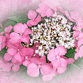 Pink Lace Cap Hydrangea Flowers by Mother Nature
