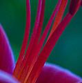 Pink Lily by Dana Kern