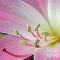 Pink Lily by Kaye Menner