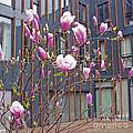 Pink Magnolia. Square Format by Ausra Huntington nee Paulauskaite