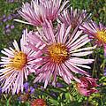 Pink New York Aster- Symphyotrichum Novi-belgii by Mother Nature