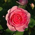 Pink Old English Rose by Gail Jacobsen