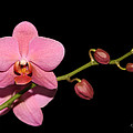 Pink Orchid by John Zawacki
