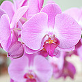 Pink Orchids by Kari Swanson