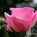Pink Pearl by Susan Herber