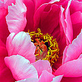 Pink Peony Close Up by Richard Singleton