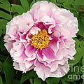 Pink Peony Flowers Series 1 by Eva Kaufman