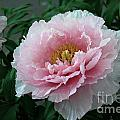 Pink Peony Flowers Series 2 by Eva Kaufman