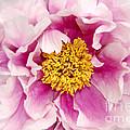 Pink Peony Flowers Series 3 by Eva Kaufman