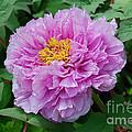 Pink Peony Flowers Series 9 by Eva Kaufman