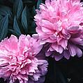 Pink Peony Pair by Tom Wurl