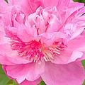 Pink Peony by Regina Geoghan