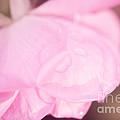 Pink Petals by Lisa McStamp