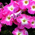 Pink Petunias by Ms Judi