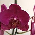 Pink Phalaenopsis Orchid  by Georgeta  Blanaru