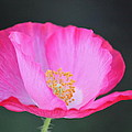 Pink Poppy 3 by Diana Hatcher
