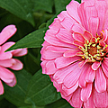 Pink Posy Pano by Andee Design