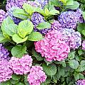 Pink Purple Hydrangeas by Kume Bryant