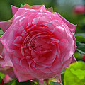Pink Puzzled Rose by Teresa Blanton