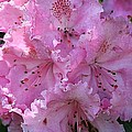 Pink Rhododendrons by Chriss Pagani