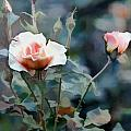 Pink Rose Bush by Elaine Plesser