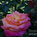 Pink Rose by Christofer Johnson