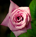 Pink Rose by David Weeks